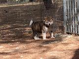 Cucciolo akita inu tigrato