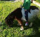 Mini pony con calesse ,finimenti e sella