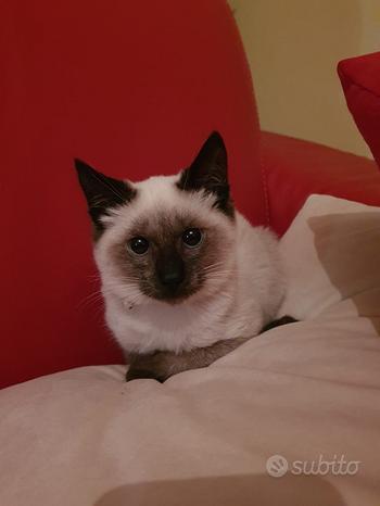 Gattini thai siamese puri old pedigree