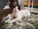 P.J., 3 mesi, gattina dall'argento vivo