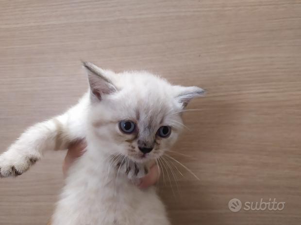 British shorthair gattini