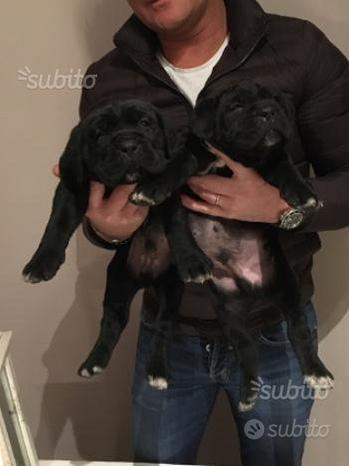 Cane corso cuccioli di due mesi