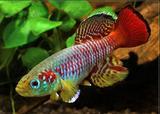 Killifish Nothobranchius guentheri Pesce Acquario