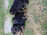 Stupendi cuccioli di Pastore Tedesco