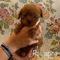 Barboncino mini toy femmina rosso pedigree enci