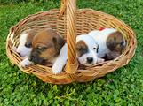 Cucciolata jack russell terrier