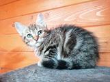 Gattino di 2 mesi incrocio