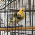 Uccelli canarini arricciati