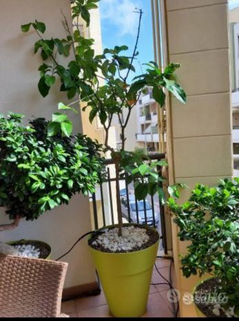 Albero pianta limone quattro stagioni vaso verde
