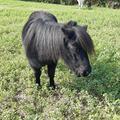 Pony Shetland gravida