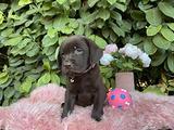 Disponibili 8 cuccioli di labrador cioccolato