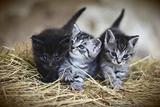 Dolcissimi gattini in adozione