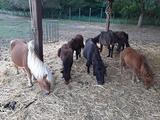Miny pony shetland