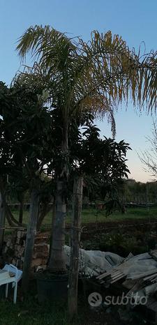 Pianta cocus plumosa