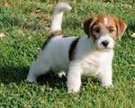 Jack russell terrier ruvido