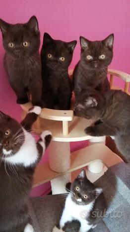 British Shorthair cuccioli disponibili