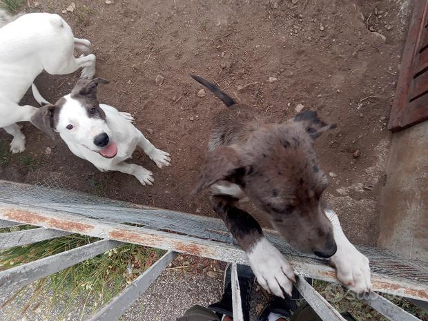 Cuccioli di incrocio Dogo Argentino e Lagorai