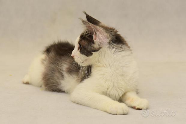 Cucciole maine coon pedigree ANFI