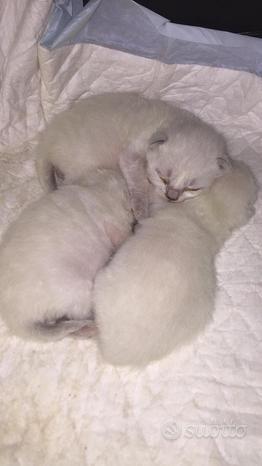 Scottish Fold straight cuccioli siberiano siamese