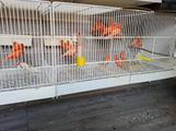 Canarini rossi e bianchi