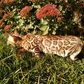 Cucciolo di Bengala con pedigree WCF, allevamento