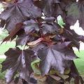 Acer platanoide crimson king alberetto