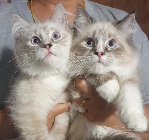 Gattini siberiano neva e tigrati