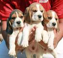 Beagle Beagle Beagle