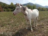 Pony welsh