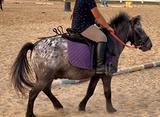 Pony appaloosa castrone 10 anni per bambini