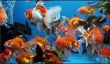 Pesci rossi e colorati, carpe Koi e Betta