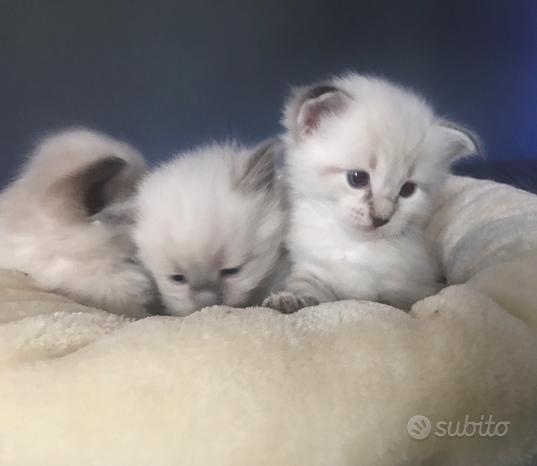 Cuccioli gatto Siberiano Neva