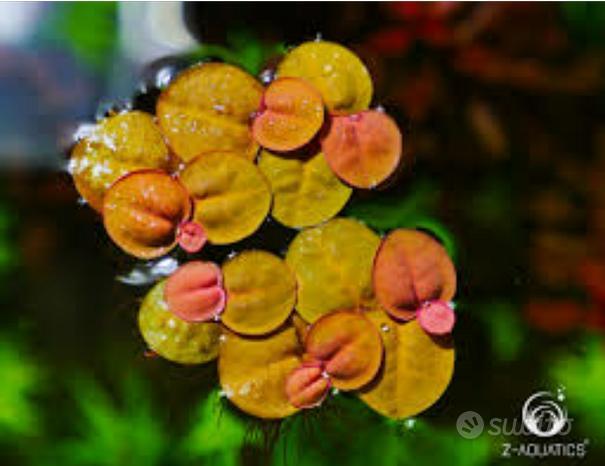 Phyllantus Pianta galleggiante acquario laghetto