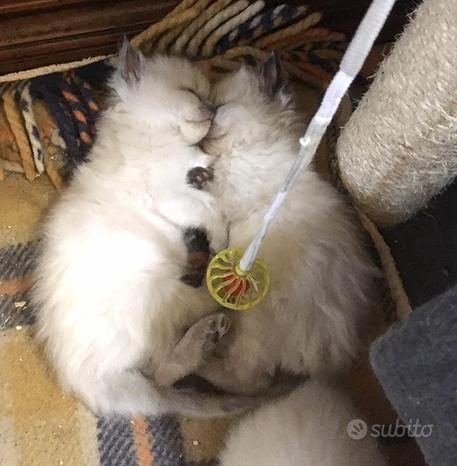 Stupendi cucciolini rag doll