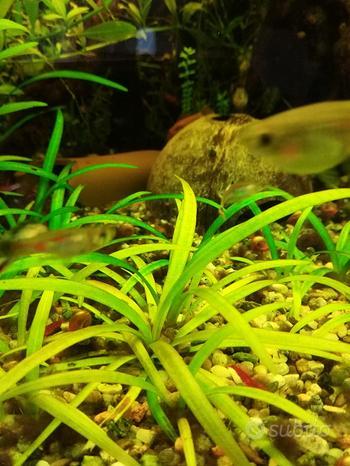 5 Piante acquario Sagittaria Subulata Nana