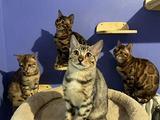 Cuccioli gatto del bengala con pedigree