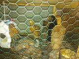 Pulcinotti e galline Ornamentali