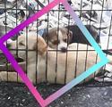 Disponibile beagle labrador