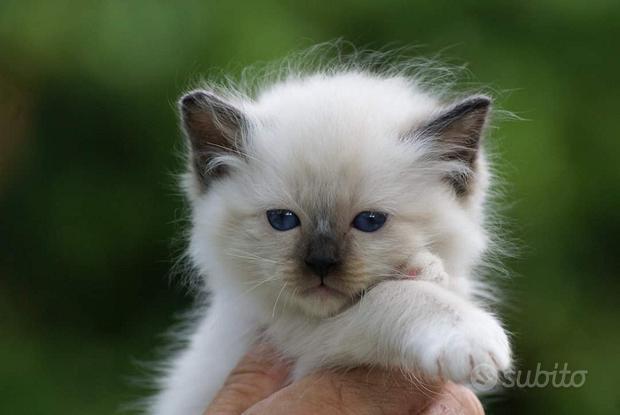 Sacro di Birmania gattini