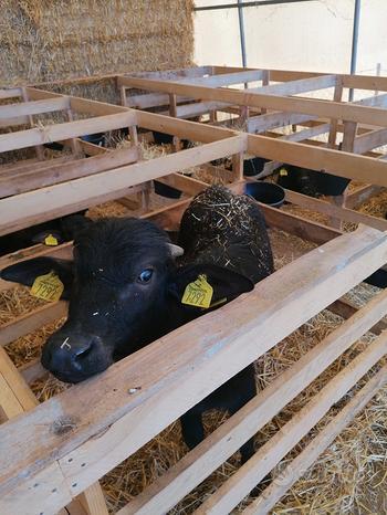 Bufale, vitelli