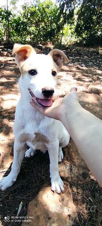 Cucciolo simil border collie