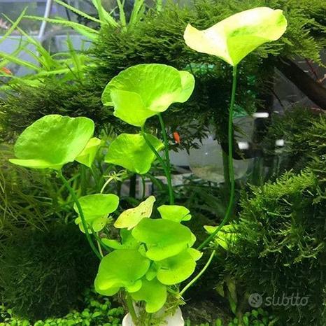 Pianta per acquario Nymphoides taiwan