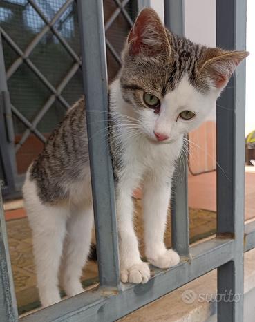 Dolce gattino