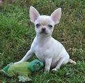 Chihuahua maschio bianco