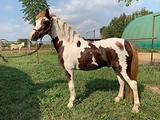 Pony welsh pezzato