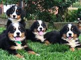 Cuccioli Bovaro del Bernese
