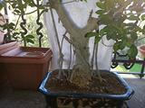 Bonsai di 50 anni con radici aeree