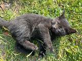 Splendida gattina nera - kali